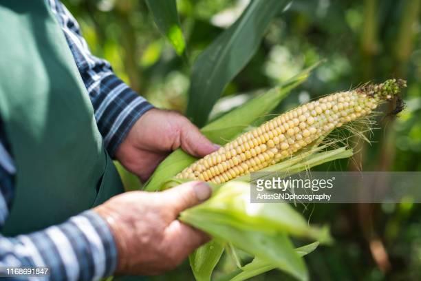 fazendeiro sênior que inspecion a espiga de milho - trabalhador rural - fotografias e filmes do acervo