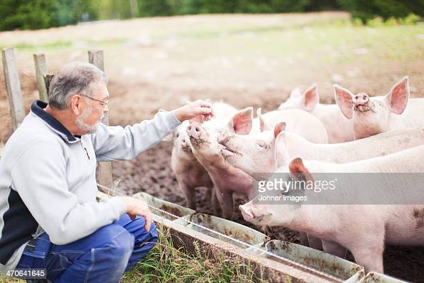 senior farmer looking at pigs - pig stock pictures, royalty-free photos & images