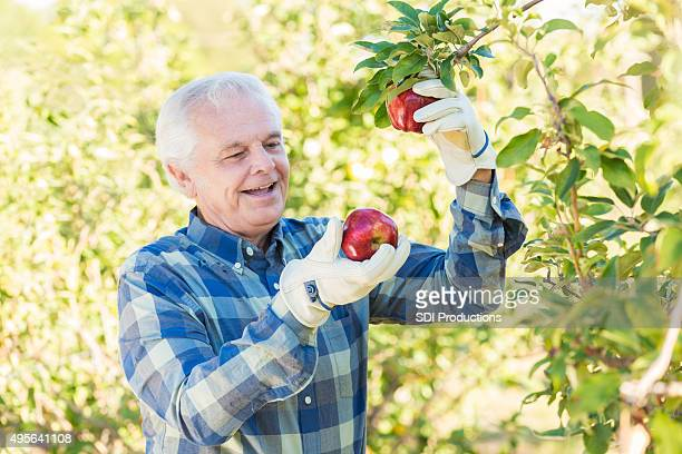 Senior farmer picking apples from trees in apple orchard