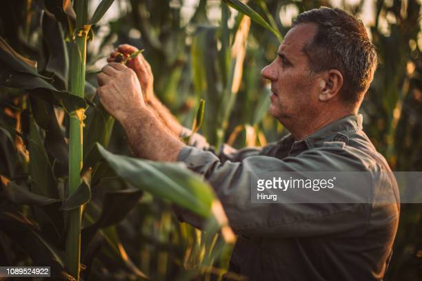 senior farmer picking corn - corn stock pictures, royalty-free photos & images