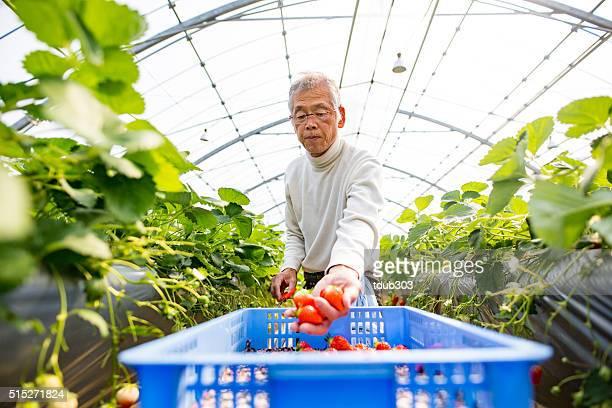 Senior farmer picking strawberries