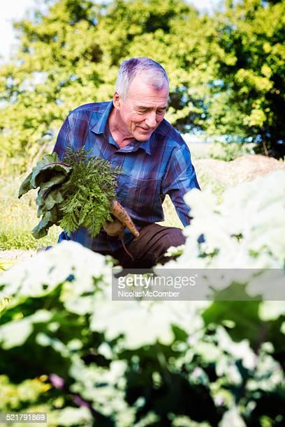 Senior farmer picking up root vegetables