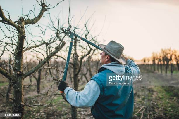 senior farmer pruning trees - pruning shears stock photos and pictures