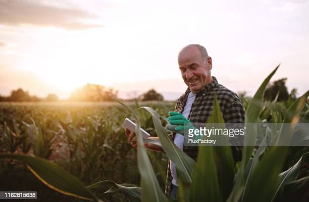 senior farmer with a digital tablet in a corn field - corn crop stock pictures, royalty-free photos & images