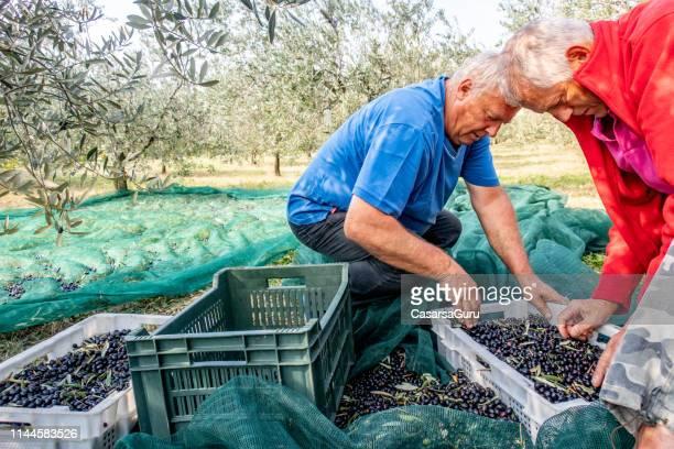 fazendeiros sênior que recolhem azeitonas colhidas nas caixas - colher atividade agrícola - fotografias e filmes do acervo