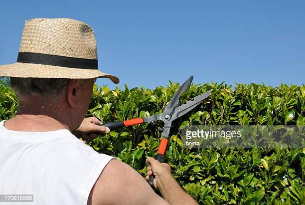 Senior gardener cutting  laurel hedge in spring with hedge scissors