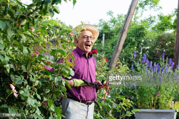senior gardener looking after his flowers - purple glove stock pictures, royalty-free photos & images