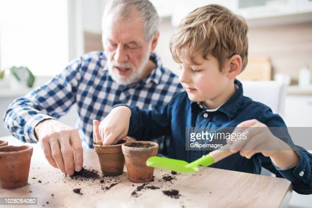 Senior grandfather with small grandson sitting at the table at home, sowing seeds into flower pots.