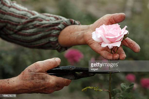 senior hands - pruning shears stock photos and pictures