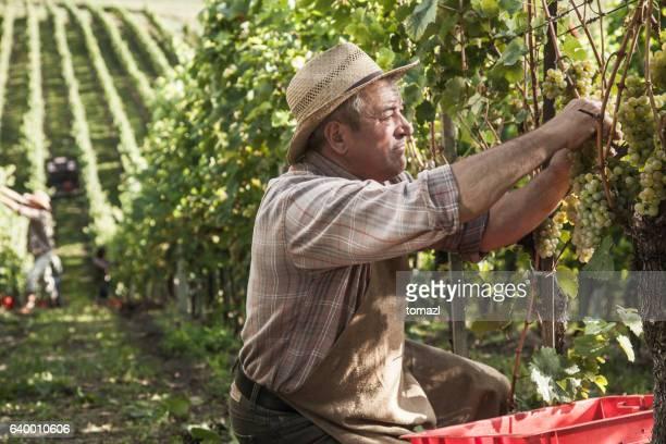 Senior Harvesting Grapes in the late sun