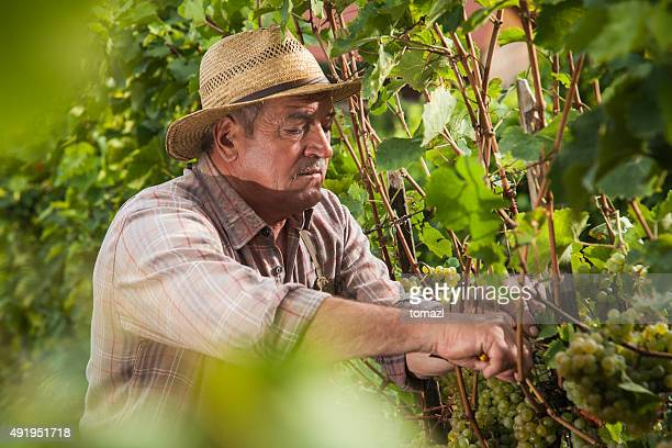 Senior ernten Trauben in the Vineyard