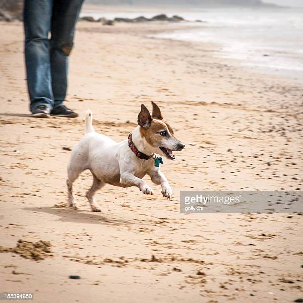Senior Jack Russell Terrier running on the beach