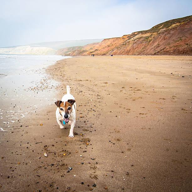 Senior Jack Russell Terrier Running On The Beach Wall Art