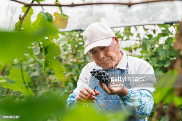 Senior Japanese man working in a vineyard collecting grapes