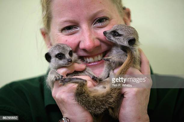 Senior Keeper Suzi Hyde poses with a pair of hand reared baby meerkats named Lia and Roo at London Zoo on April 30 2009 in London England Suzi has...