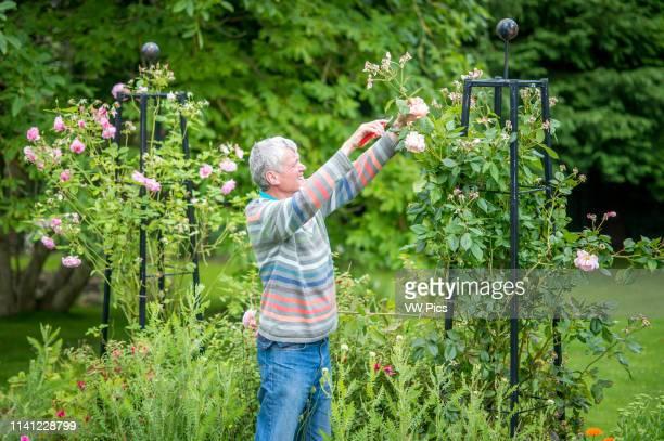 Senior male prunes roses in garden Richmond Yorkshire England