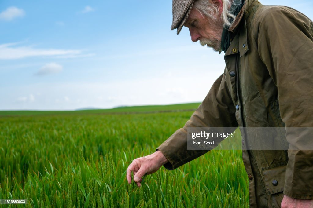 Senior man checking the growth of a cereal crop : Stock Photo
