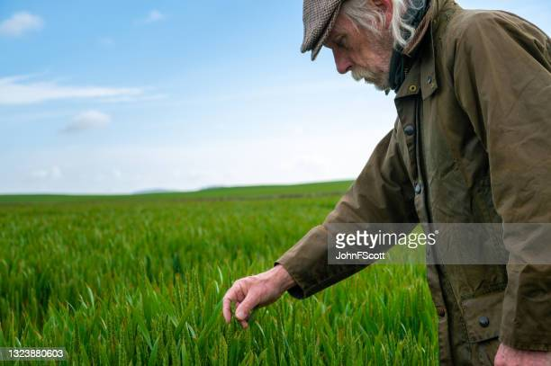 senior man checking the growth of a cereal crop - johnfscott stock pictures, royalty-free photos & images