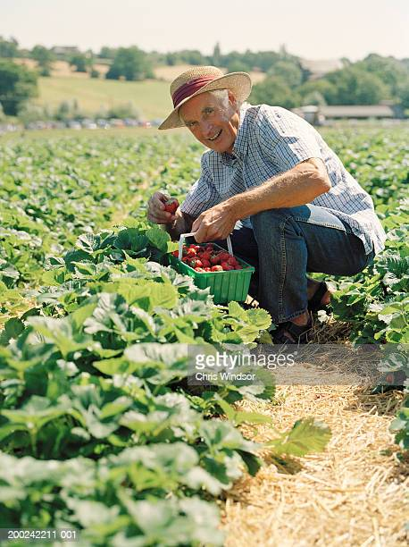Senior man crouching in field picking strawberries, smiling, portrait