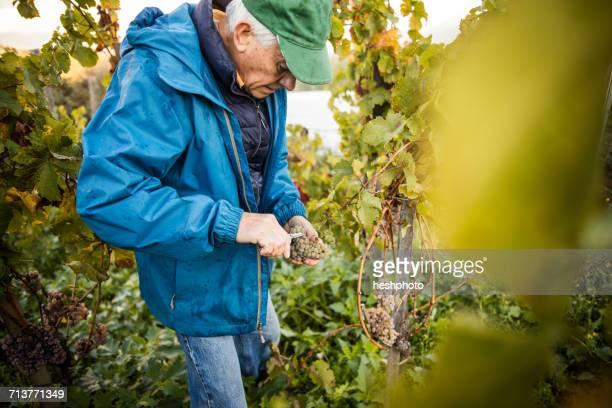 Senior man cutting grapes from vine in vineyard