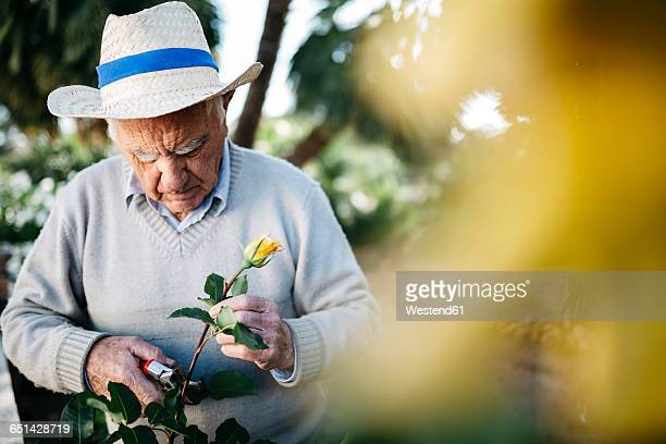 Senior man cutting rose in the garden