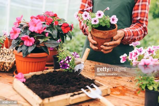 senior man gardening - flower pot stock pictures, royalty-free photos & images