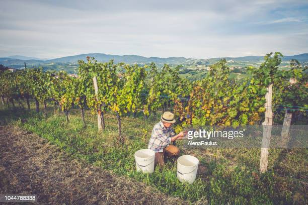 senior man grapes harvesting and picking up - grape harvest stock pictures, royalty-free photos & images