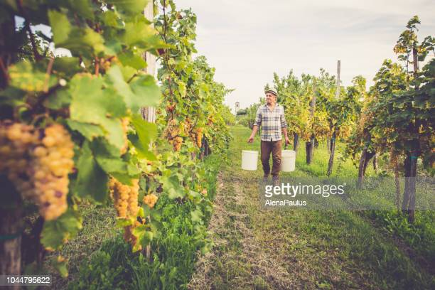senior man grapes harvesting and picking up - attività agricola foto e immagini stock