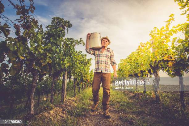 senior man grapes harvesting and picking up - grape stock pictures, royalty-free photos & images