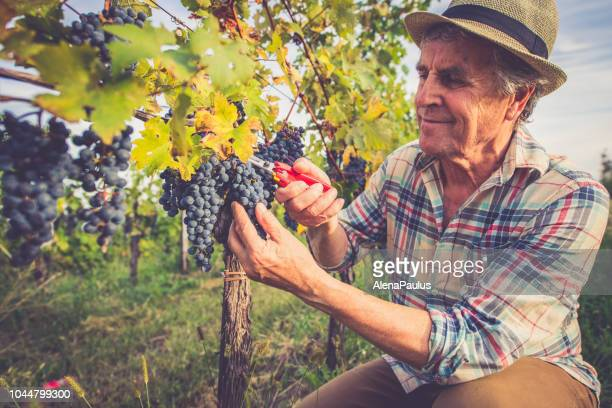senior man grapes harvesting and picking up - wine harvest stock pictures, royalty-free photos & images