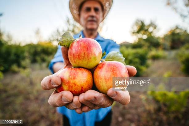 senior man harvesting apples - apple harvest stock pictures, royalty-free photos & images