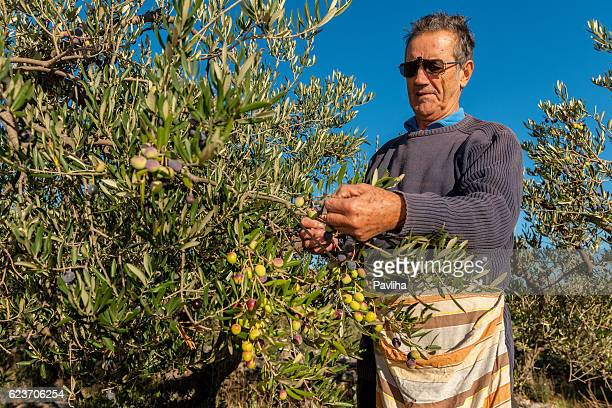 senior man harvesting olives in brac, croatia, europe - olive orchard stock photos and pictures