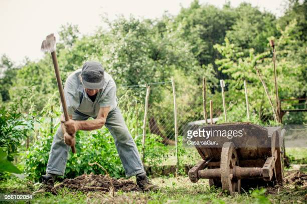 Senior Man Harvesting Potato In His Vegetable Garden