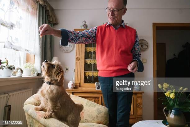 l'homme aîné s'amusent tout en jouant avec son crabot sur le sofa - norfolk terrier photos et images de collection