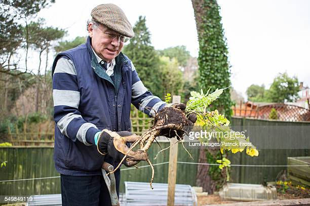 Senior man holding root vegetables in hands, Bournemouth, County Dorset, UK, Europe