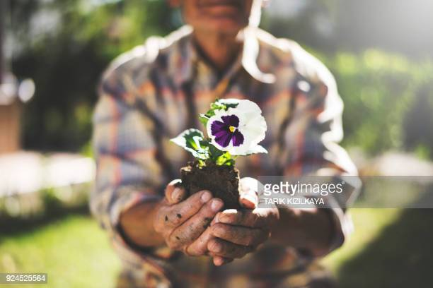 senior man holding violet flower in his hands - african violet stock photos and pictures