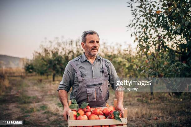 senior man in apple orchard - orchard stock pictures, royalty-free photos & images