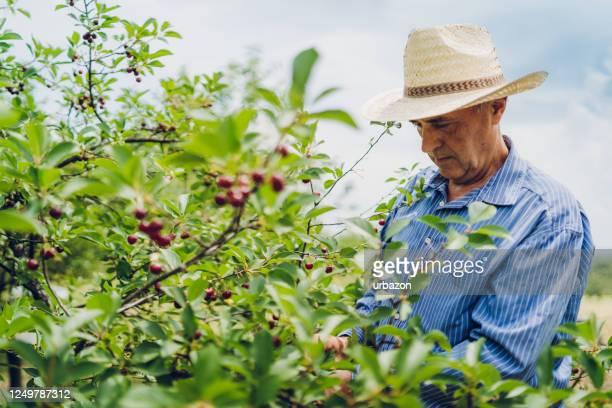 桜の果樹園の先輩男性 - サワーチェリー ストックフォトと画像