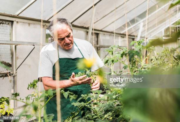 Senior man in greenhouse examining plant