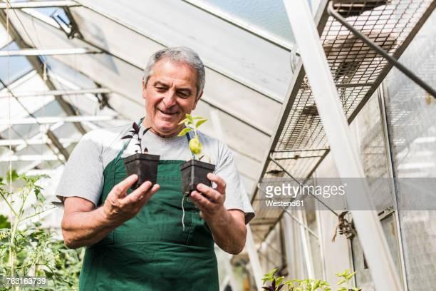 Senior man in greenhouse examining plants