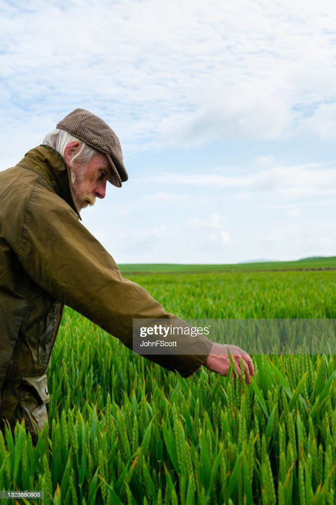 Senior man inspecting the growth of a crop : Stock Photo