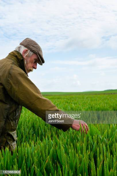 senior man inspecting the growth of a crop - johnfscott stock pictures, royalty-free photos & images