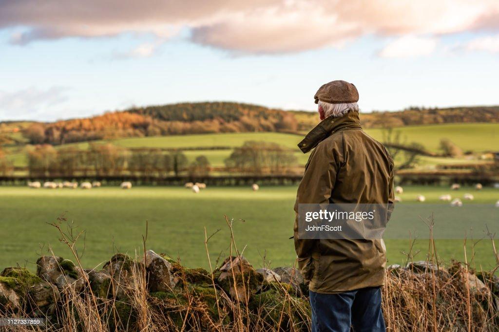 Senior man op zoek naar veld met schapen : Stockfoto
