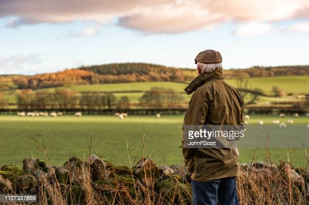 senior homme regardant champ avec des moutons - scotland photos et images de collection