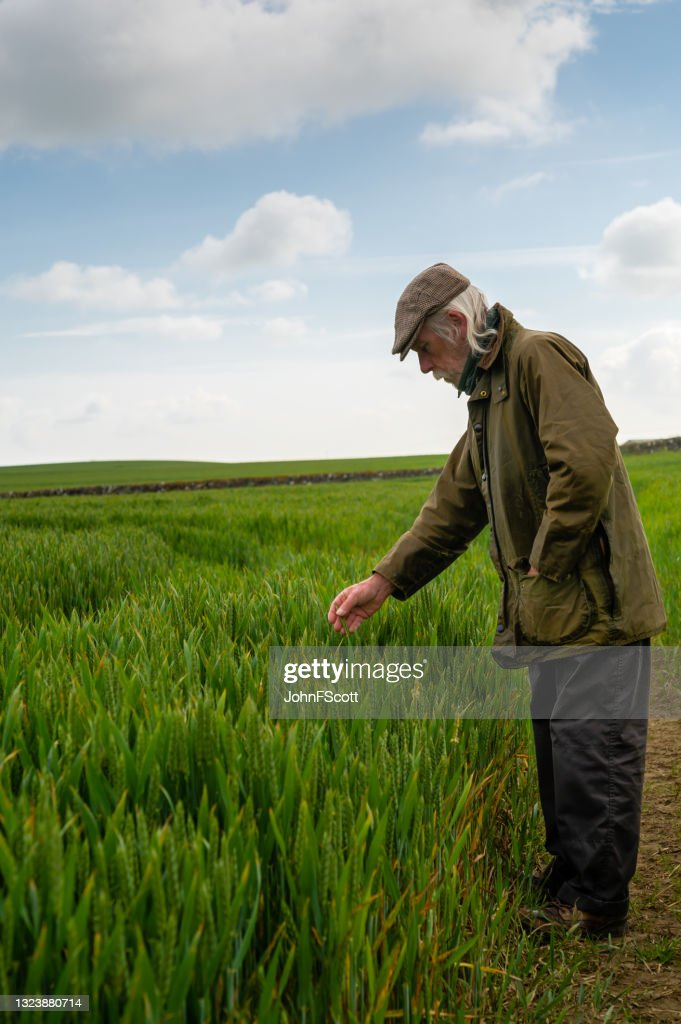 Senior man looking at the condition of a crop : Stock Photo