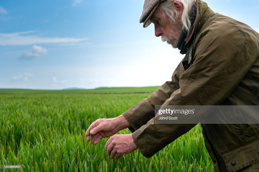 Senior man looking at the growth of a cereal crop : Stock Photo