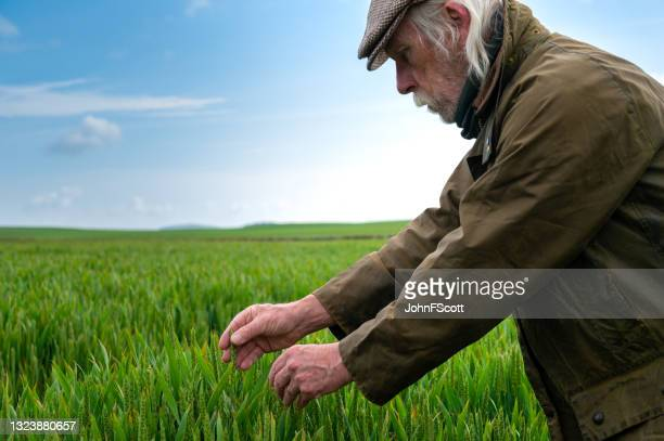 senior man looking at the growth of a cereal crop - johnfscott stock pictures, royalty-free photos & images