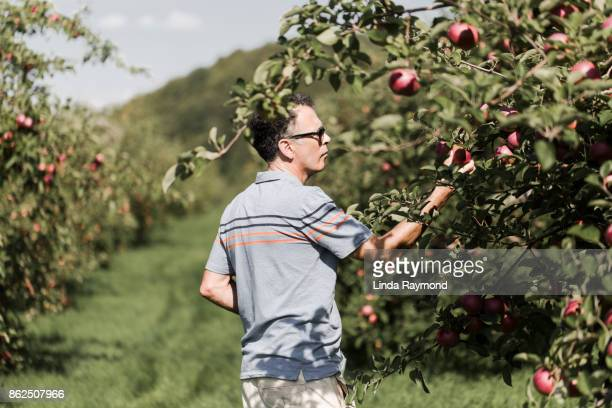 Senior man picking apples in his orchard
