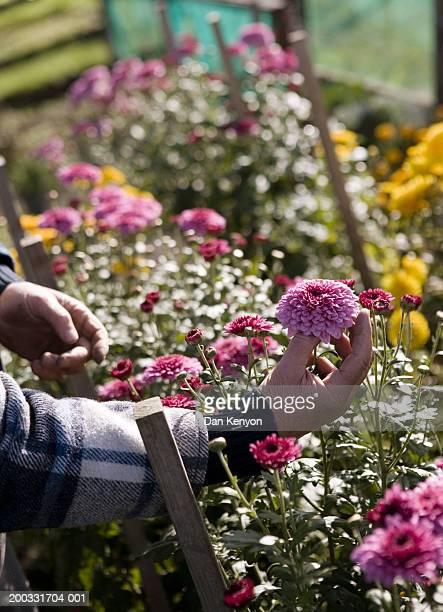 Senior man picking chrysanthemum (Chrysanthemum sp.), close-up of hand
