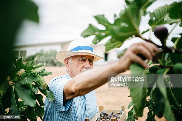 Senior man picking figs